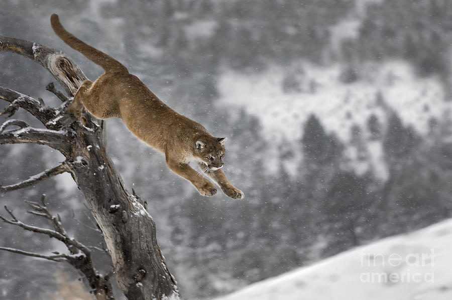 Mountain Lion Photograph - Mountain Lion - Silent Escape by Wildlife Fine Art