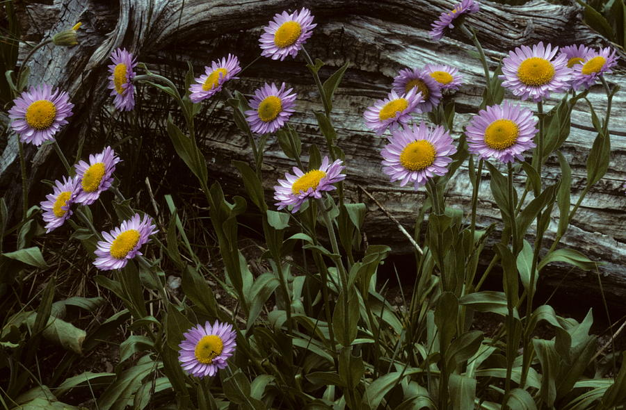 Wild Flowers Photograph - Mountain Meadow Wildflowers by Cyril Furlan