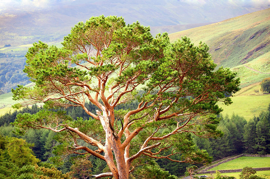 Mountain Pine Tree In Wicklow. Ireland Photograph by Jenny Rainbow