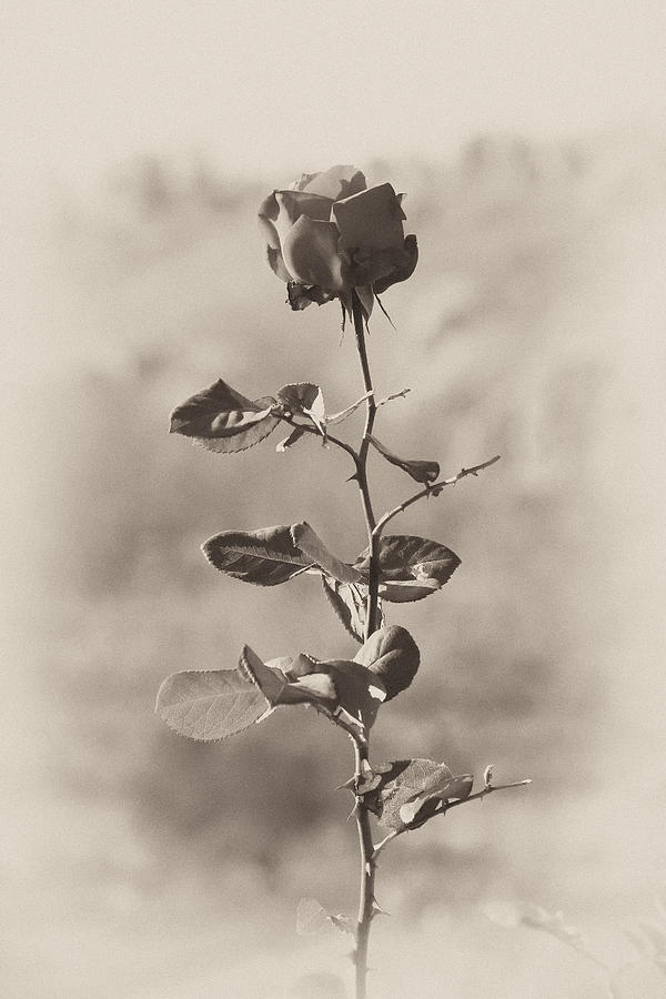 Rose Photograph - Mountain rose by Goyo Ambrosio
