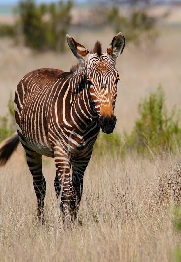 Zebra Photograph - Mountain Zebra by Bruce J Robinson