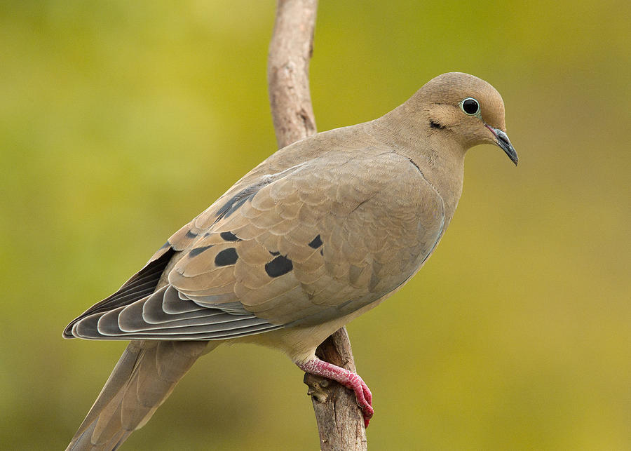 Birds Photograph - Mourning Dove by Doug Herr