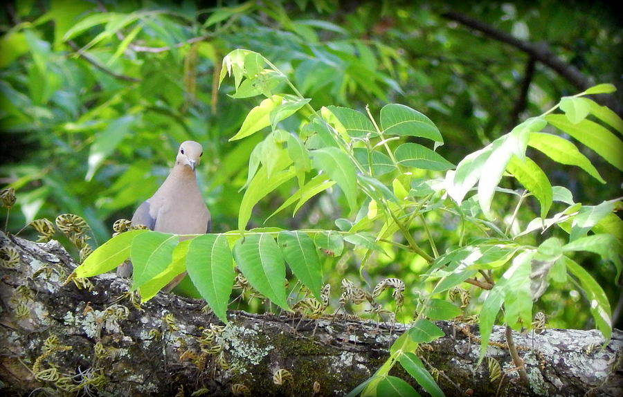 Mourning Dove Photograph - Mourning Dove by Lynn Griffin
