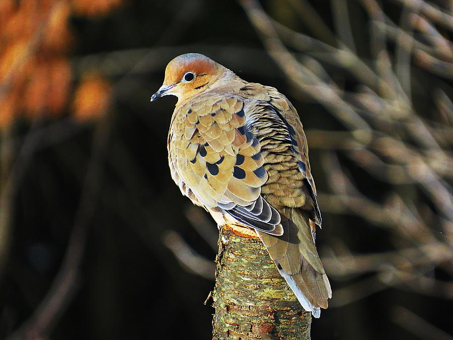 Mourning Dove Photograph - Mourning Dove On Post by MTBobbins Photography