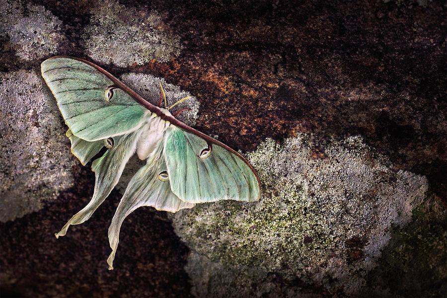 Luna Moth Photograph - Mourning Luna by Damon Clarke