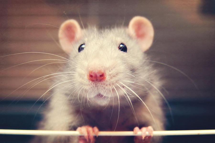 Mouse rat Photograph by Niccirf
