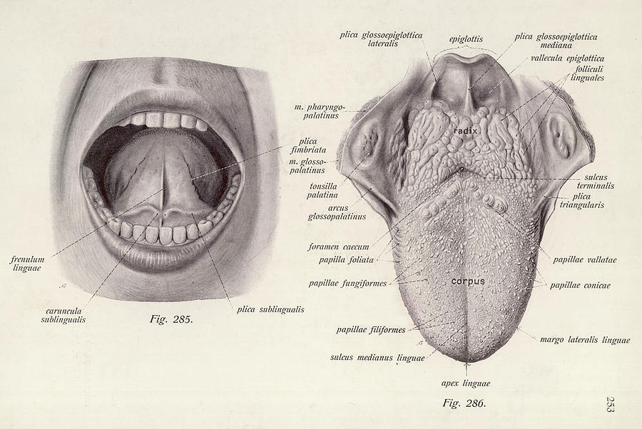 Mouth A Medical Diagram Of The Human Drawing By Mary Evans