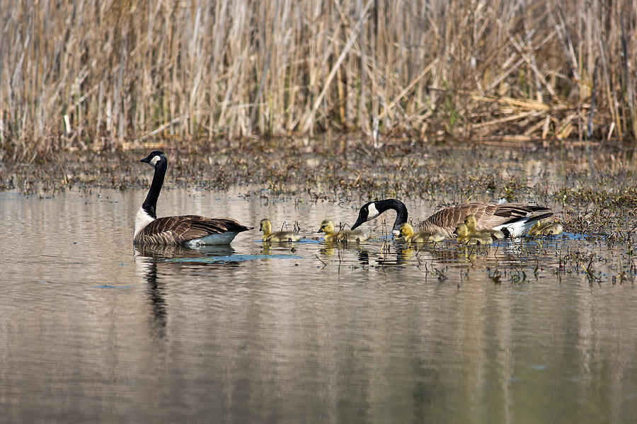 Canada Geese Photograph - Moving Along by Dale Kincaid