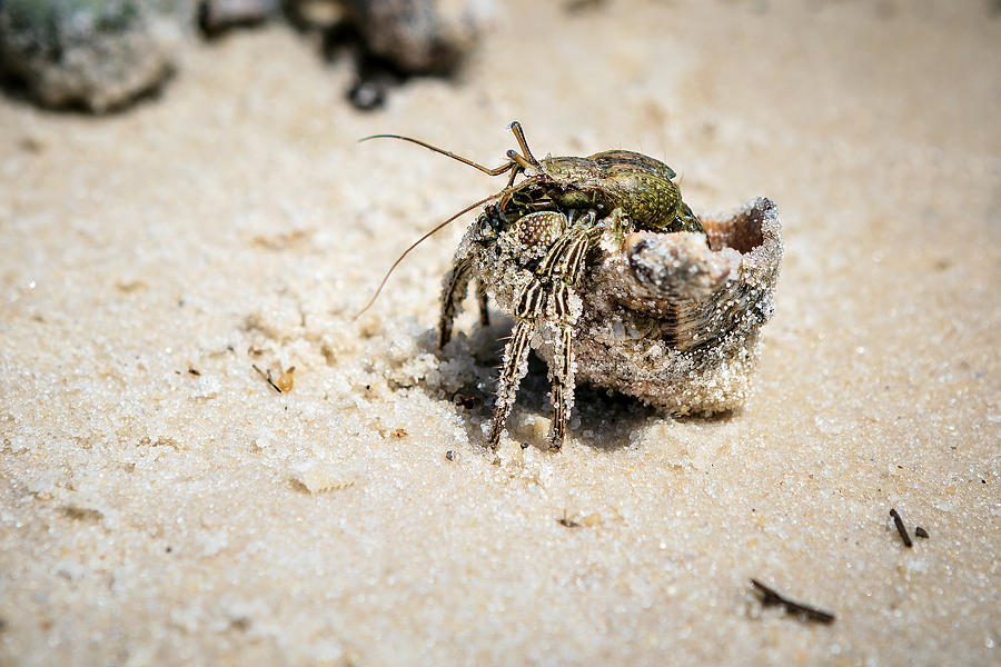 Hermit Crabs Photograph - Moving Day by Sennie Pierson