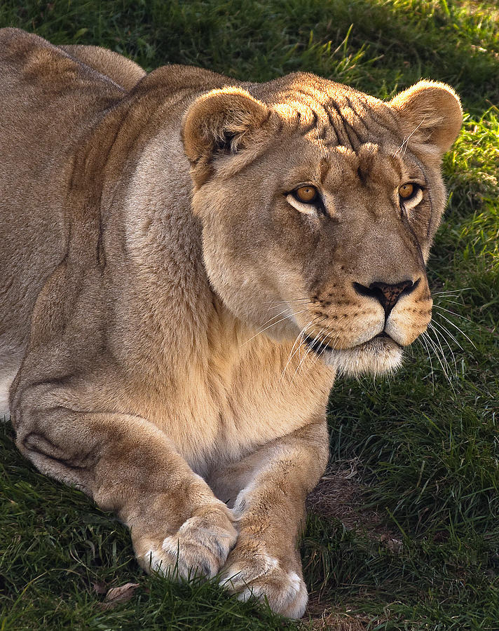 Lion Photograph - Moving In by Steve Harrington