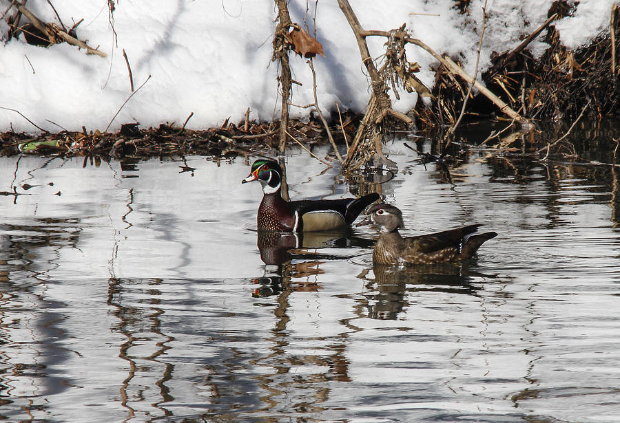 Duck Photograph - Mr. And Mrs. Wood Duck by Jill Bell