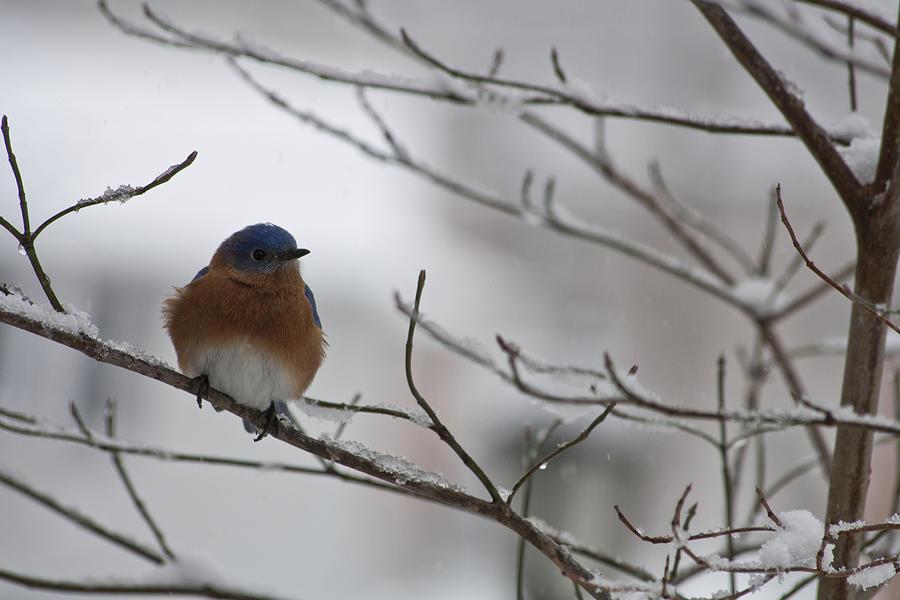 Eastern Bluebird Photograph - Mr Bluebird by Teresa Mucha