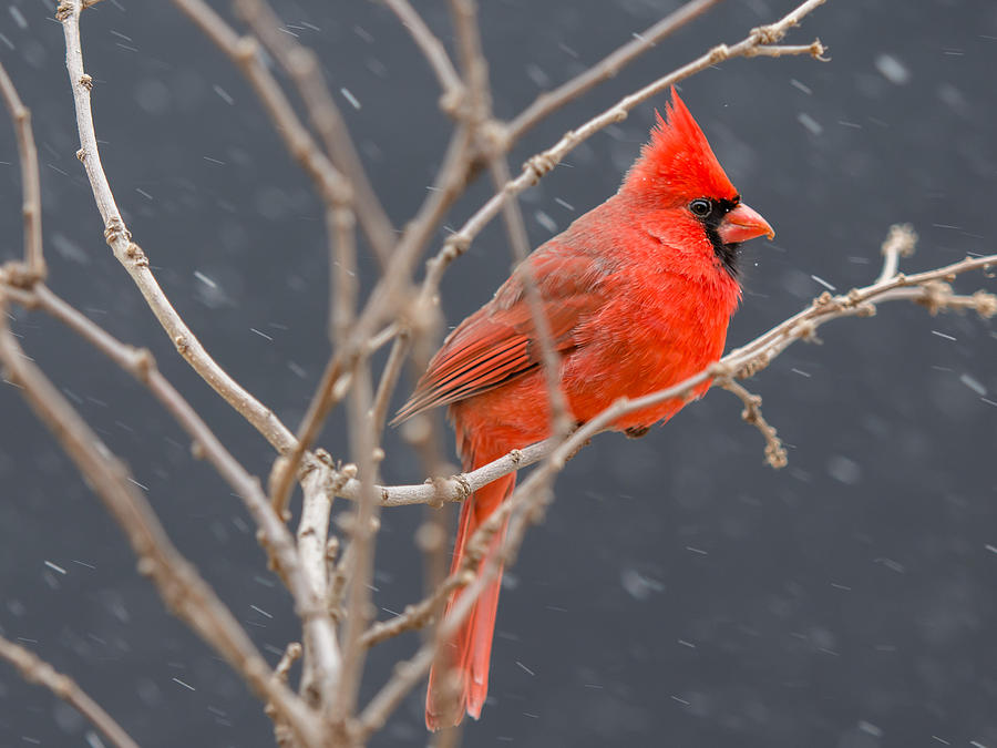 mr cardinal snow photograph by larry pacey