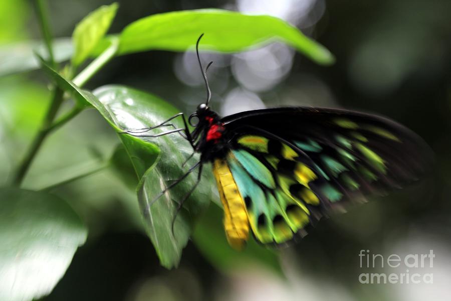 Mr. Cairns Birdwing Photograph