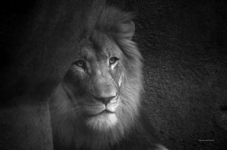 Animals Photograph - Mr Lion In Black And White by Thomas Woolworth