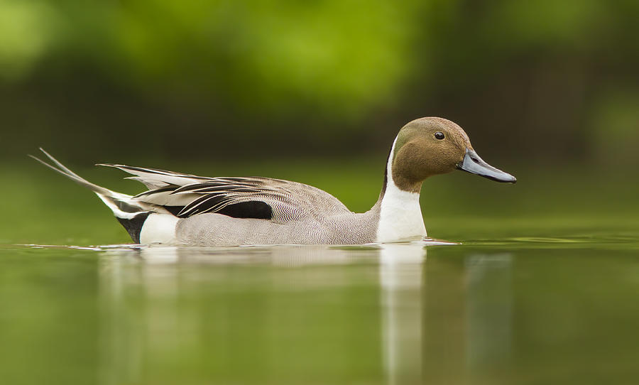 Anas Photograph - Mr Pintail  by Mircea Costina Photography
