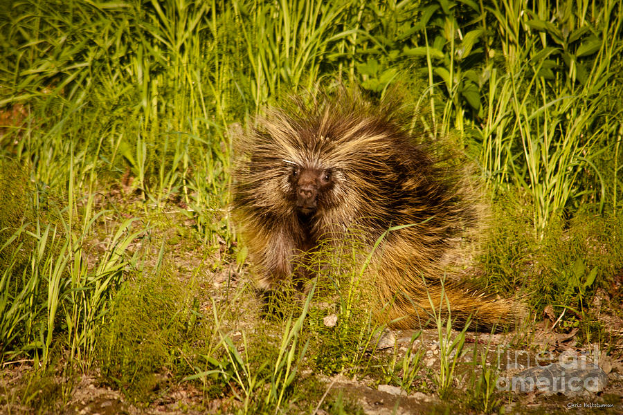 Alaska Photograph - Mr. Porcupine by Chris Heitstuman