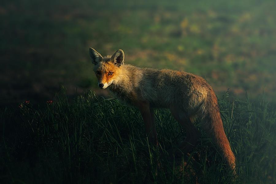 Fox Photograph - Mr.fox by Sina Pezeshki