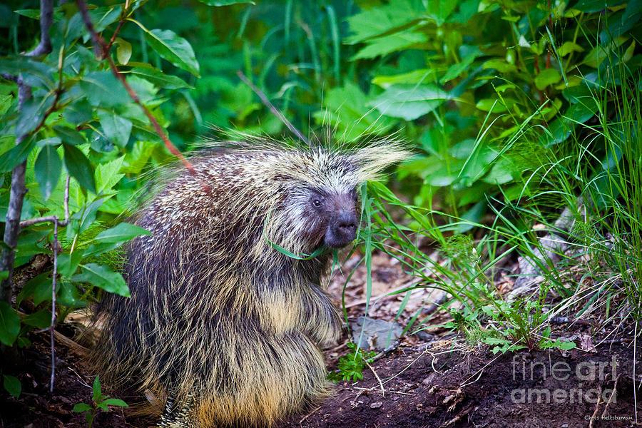 Alaska Photograph - Mrs. Porcupine  by Chris Heitstuman