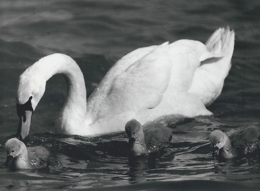 Retro Photograph - Mrs, Swan And Her Kids Enjoy Spring - Sun by Retro Images Archive