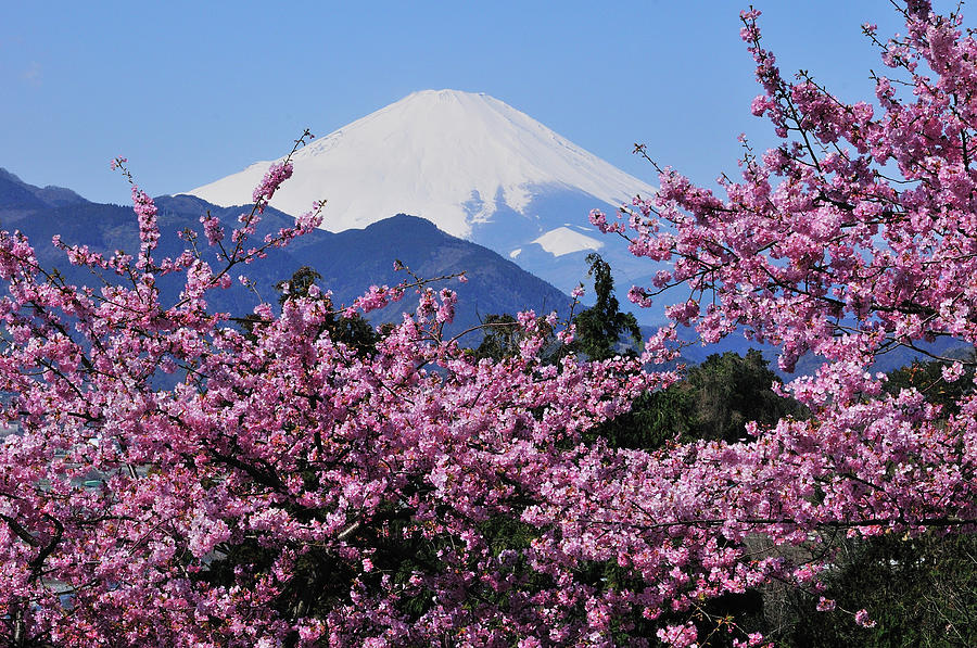 Mt Fuji And Cherry Blossom Photograph by Photos From Japan, Asia And Othe Of The World