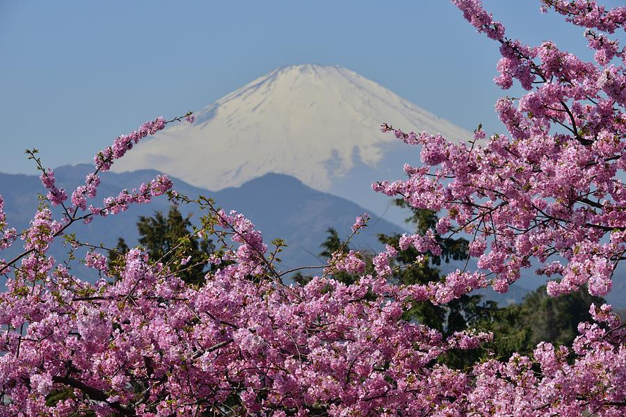Mt Fuji And Cherry Blossoms Photograph by Photos From Japan, Asia And Othe Of The World