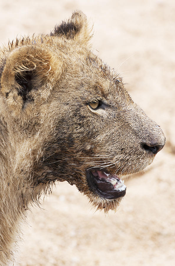 Muddy Little Lion Cub Photograph by Sean McSweeney