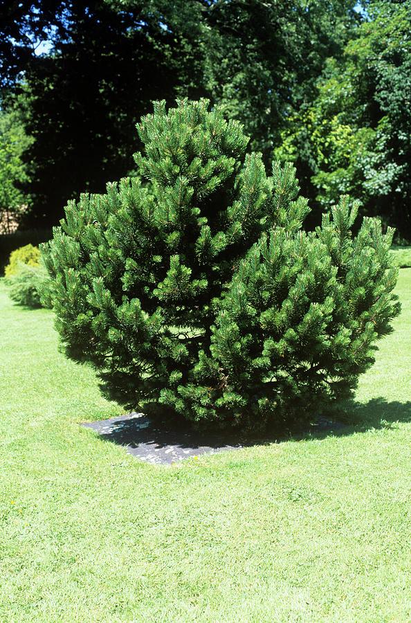 Pinus Mugo Photograph - Mugo Pine (pinus Mugo groom) by Tony Wood/science Photo Library
