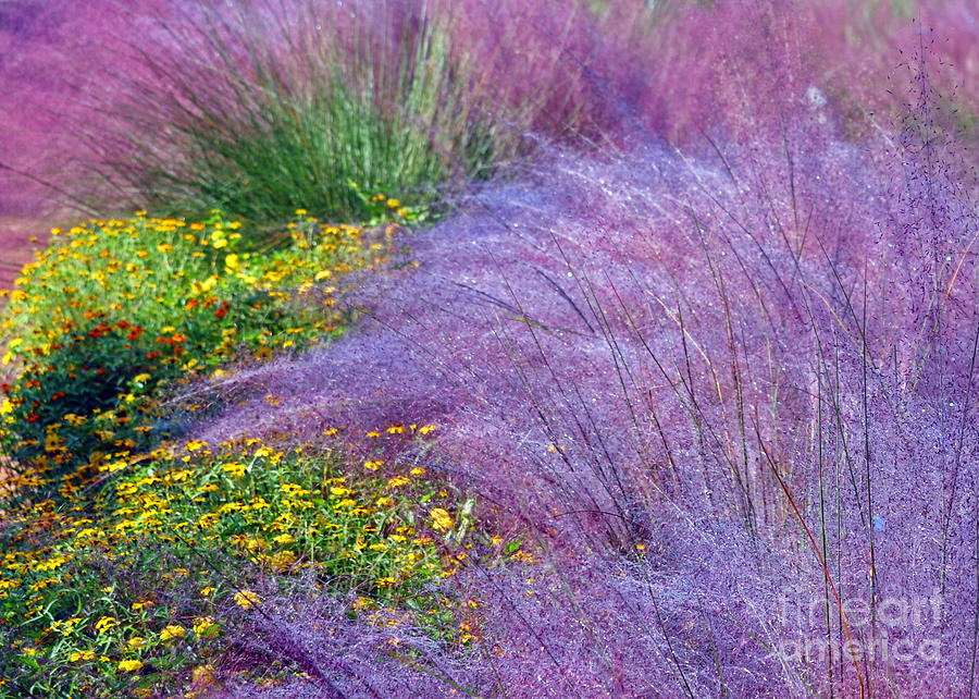 Gardens Photograph - Muhly Grass In The Morning by Lydia Holly