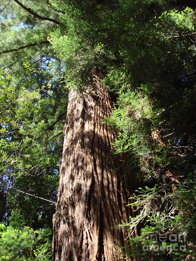 Muir Woods Photograph - Muir Woods Sequoia by Mark Etchason