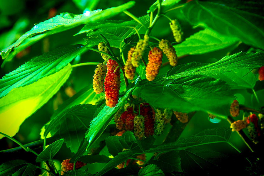 Mulberries Photograph - Mulberries - Fruit - Berries by Barry Jones