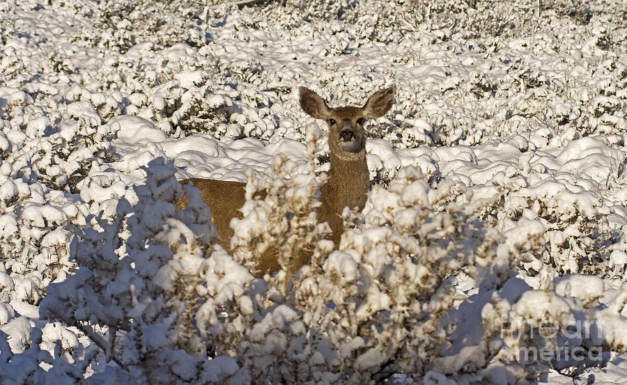 Deer Photograph - Mule Deer   #0061 by J L Woody Wooden