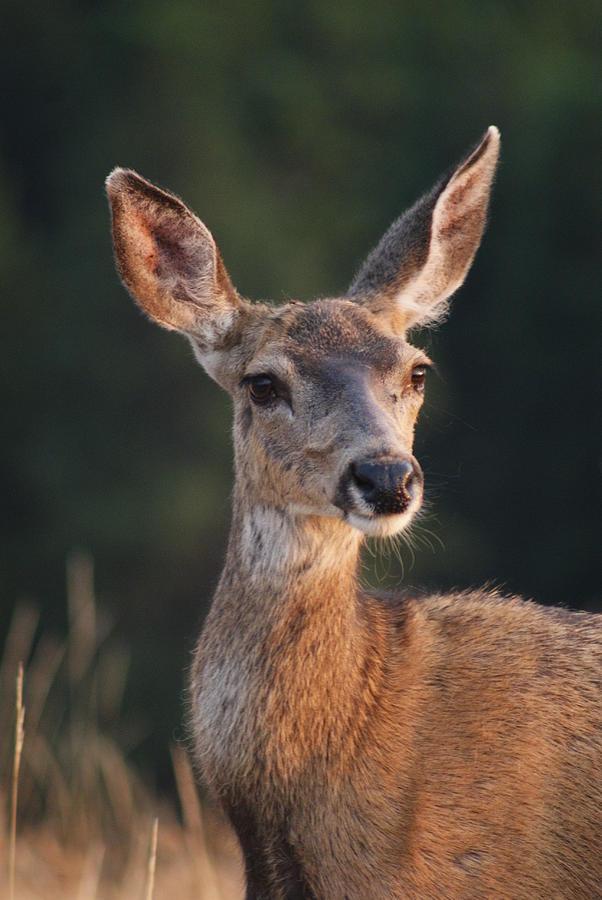 mule deer doe photograph by will hanley