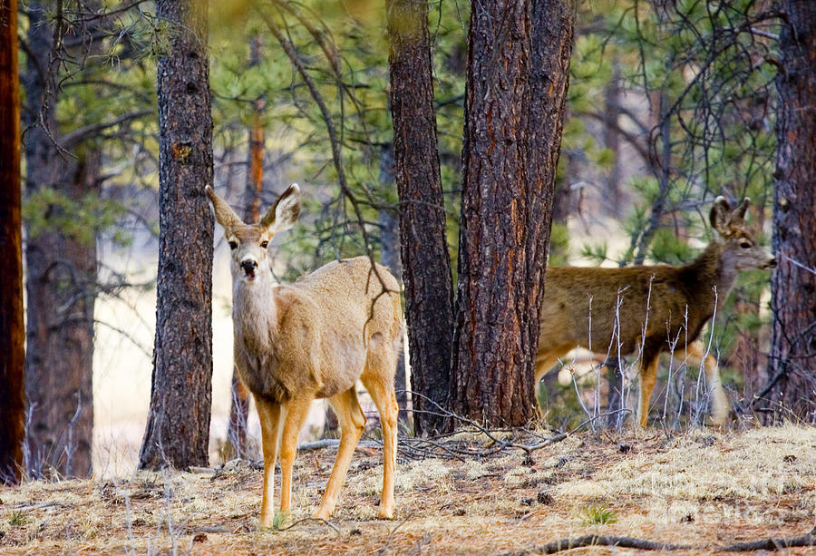 Mule Deer Does Photograph