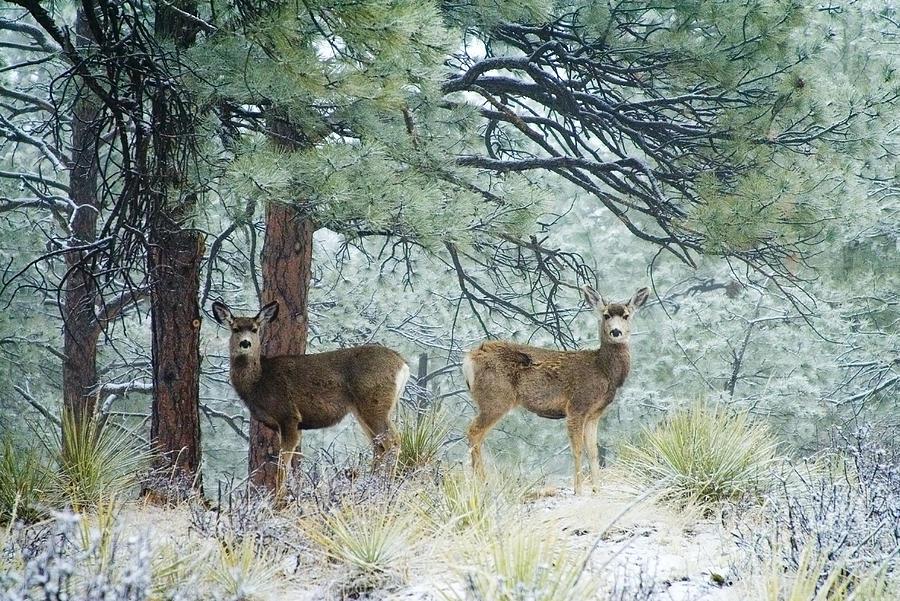 Mule Deer In Heavy Snow Photograph