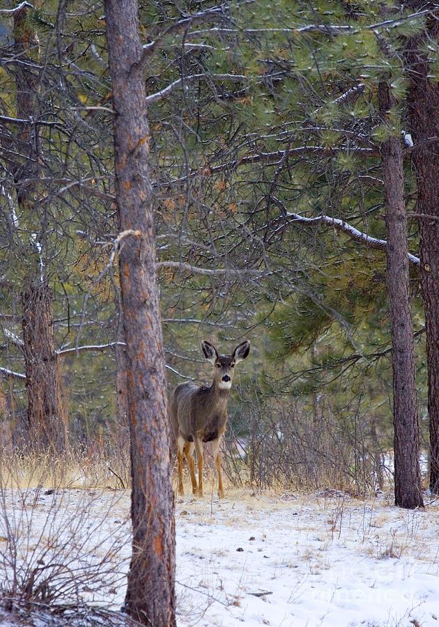 Mule Deer Photograph