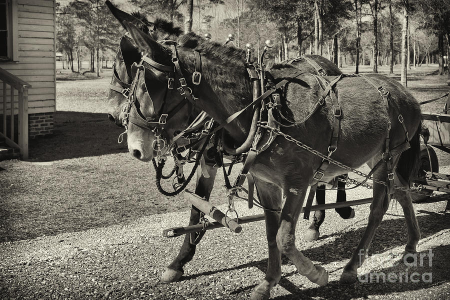Mules Photograph - Mules In Harness by Russell Christie