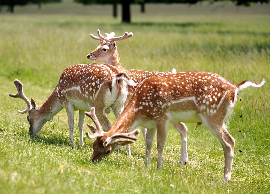 Multitasking Deer In Richmond Park Photograph