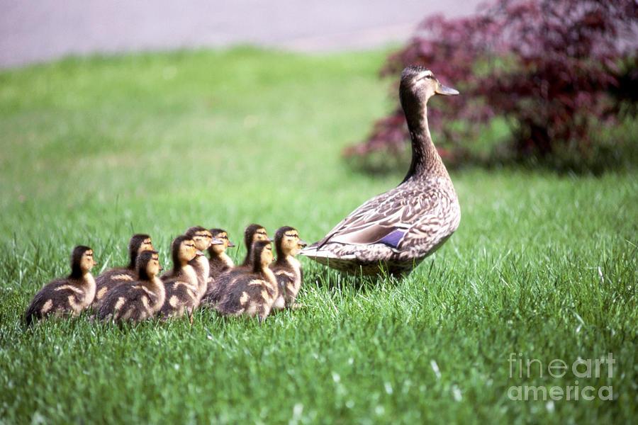 Duck Photograph - Mumma Duck And Kids by King Wu