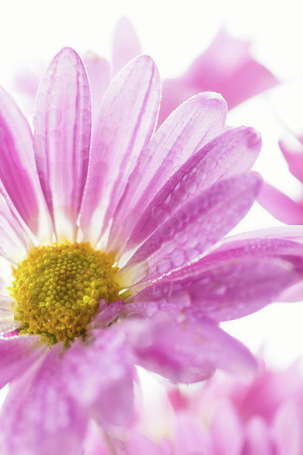 Vertical Photograph - Mums Flowers Against A White Background by Panoramic Images