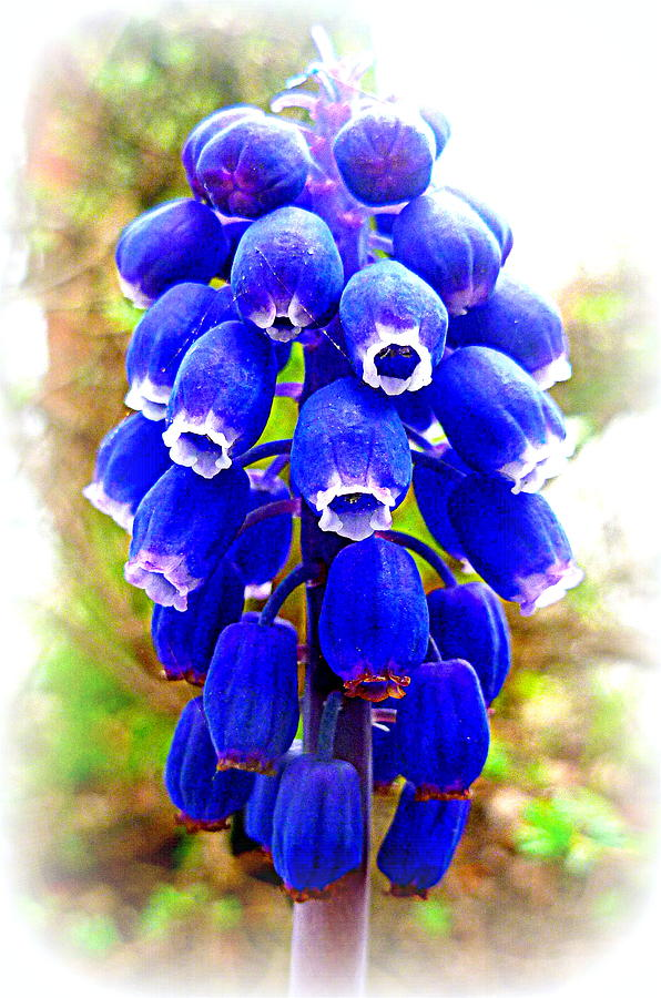Muscari Photograph - Muscari Grape Hyacinth by The Creative Minds Art and Photography