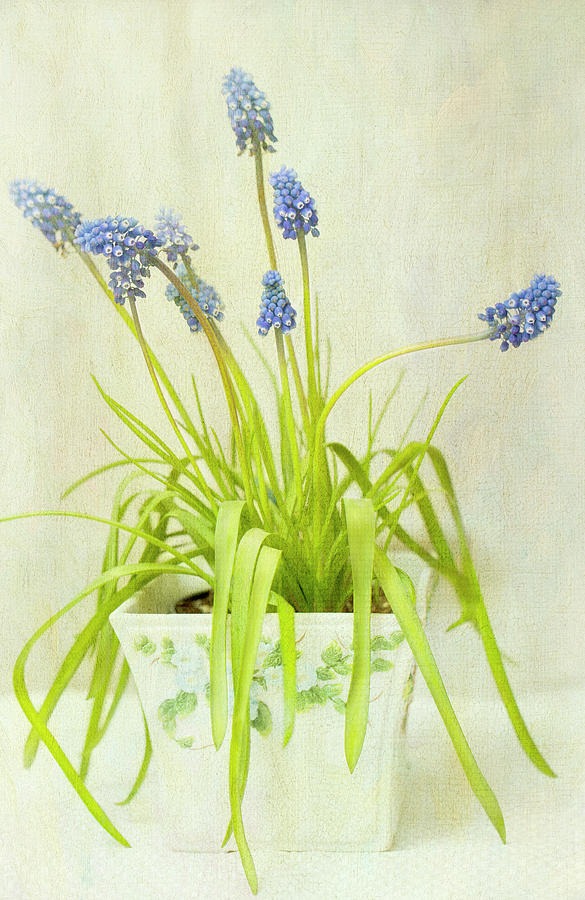Muscari In Pot, Textured Photograph by Susangaryphotography