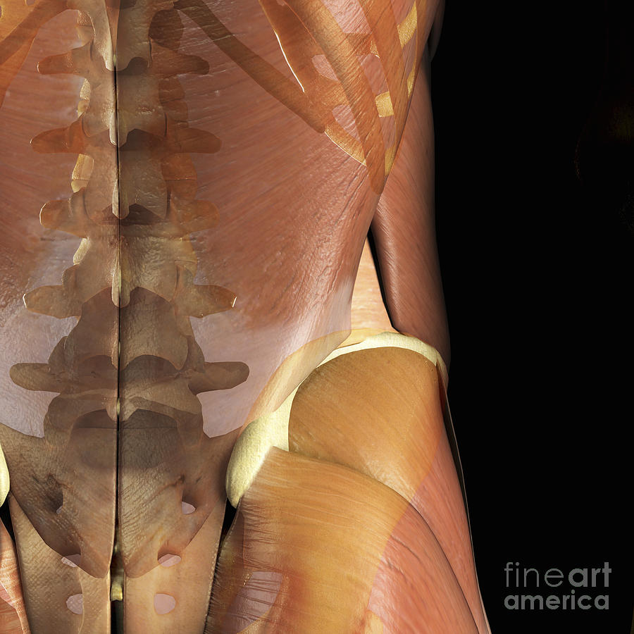 Muscles And Bones Of The Lower Back Photograph By Science Picture Co