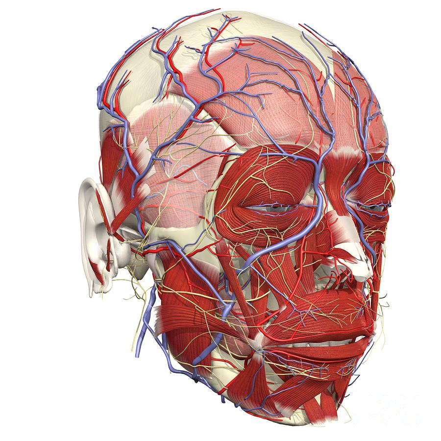 Muscles Nerves And Blood Of The Face Photograph By Medical Images
