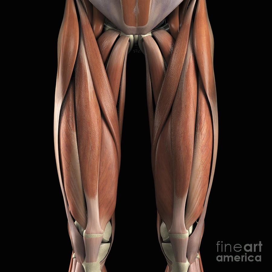 Muscles Of The Upper Legs Photograph By Science Picture Co