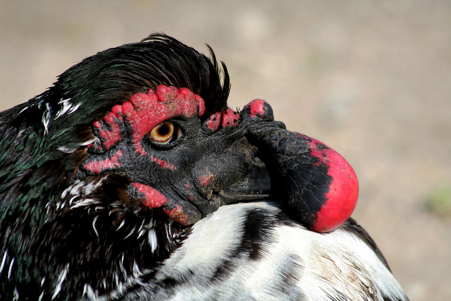 Duck Photograph - Muscovy Duck With Wattle by Bob and Jan Shriner