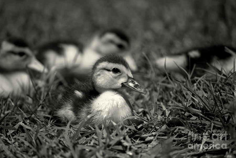 Muscovy Duckling Black And White