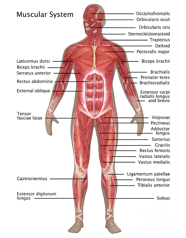Muscular System In Male Anatomy Photograph by Gwen Shockey