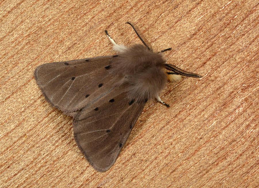 1 Photograph - Muslin Moth by Nigel Downer