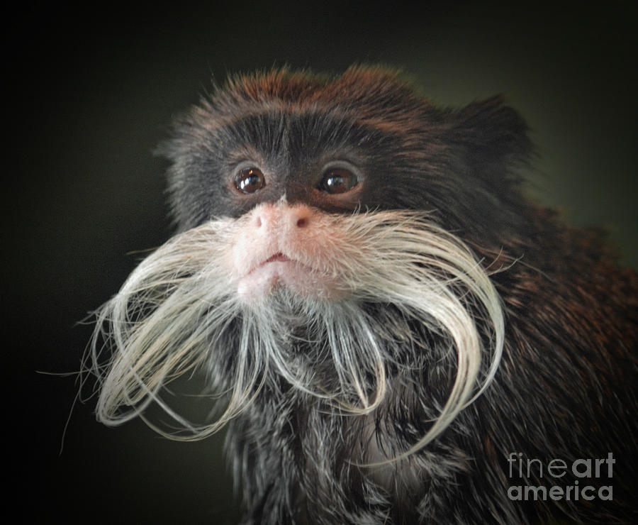Mustached Monkey Photograph - Mustached Monkey Emperor Tamarin IIi  by Jim Fitzpatrick